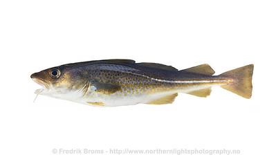 Atlantic Cod - Torsk - Gadus morhua