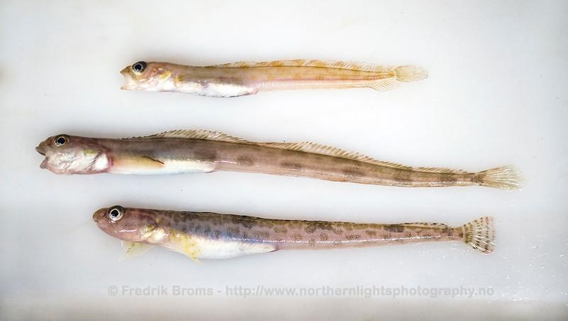 Arctic Stichaeidae comparison: A. medius (top), L. lampretaeformis (middle), L. maculatus (bottom)