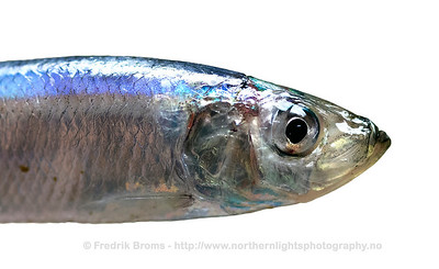 Atlantic Herring - Sild - Clupea harengus