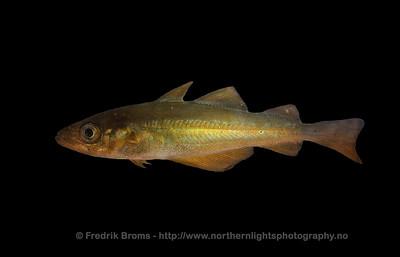 Atlantic Cod - Taretorsk/Kysttorsk - Gadua morhua