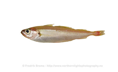 Norway Pout - Øyepål - Trisopterus esmarkii