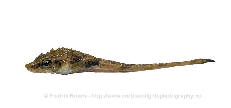 Atlantic Poacher - Tiskjegg - Leptagonus decagonus