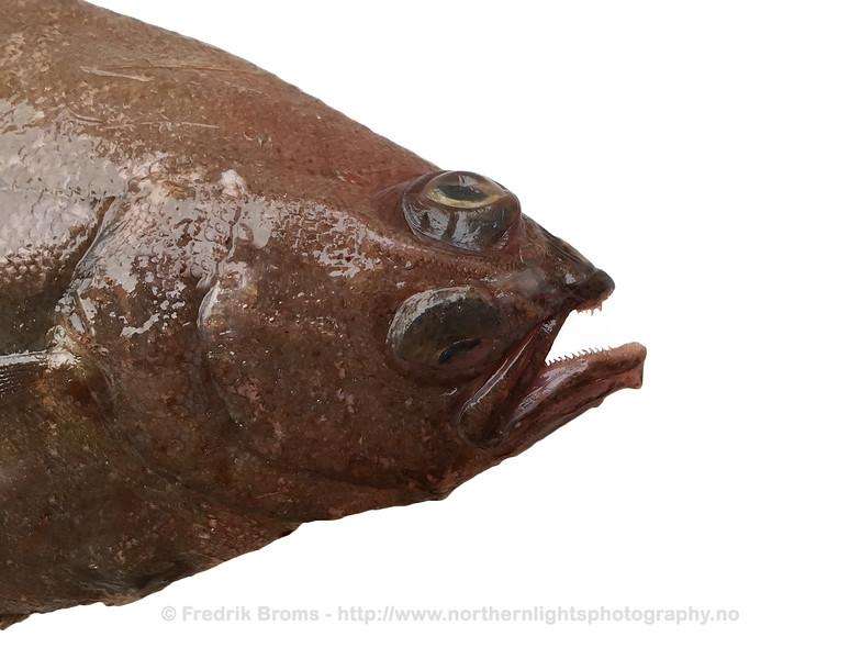 American Plaice - Gapeflyndre - Hippoglossoides platessoides