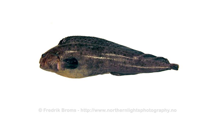 Northern Wolffish - Blåsteinbit - Anarhichas denticulatus