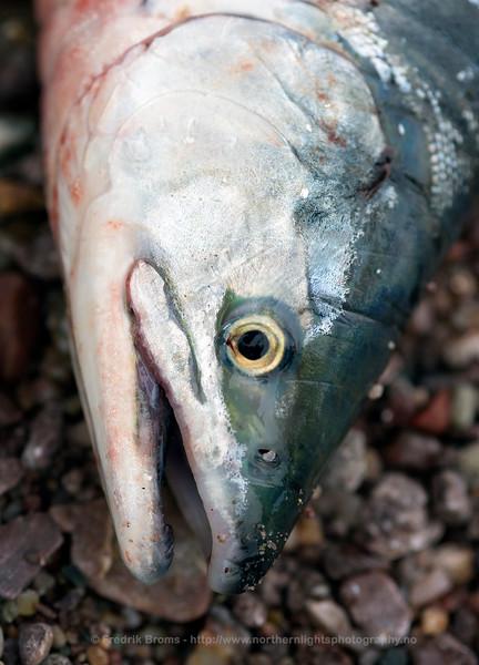 Pink salmon - Pukkellaks - Oncorhynchus gosbuscha