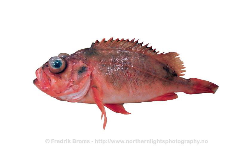 Golden Redfish - Vanlig uer - Sebastes norvegicus