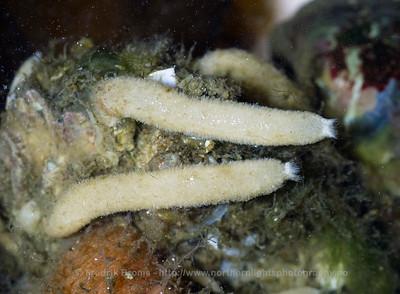 Sycon ciliatum
