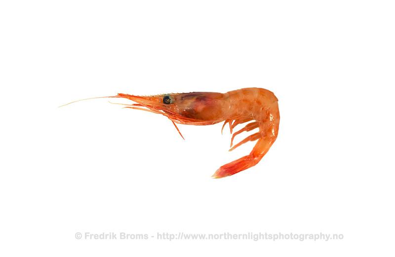 Northern Shrimp - Dypvannsreke - Pandalus borealis