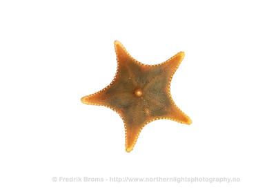 Mud Star - Muddersjøstjerne - Ctenodiscus crispatus