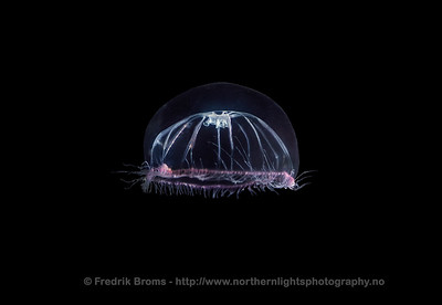 Halopsis ocellata
