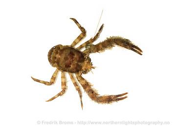 Squat Lobster - Dverghummer - Galathea nexa