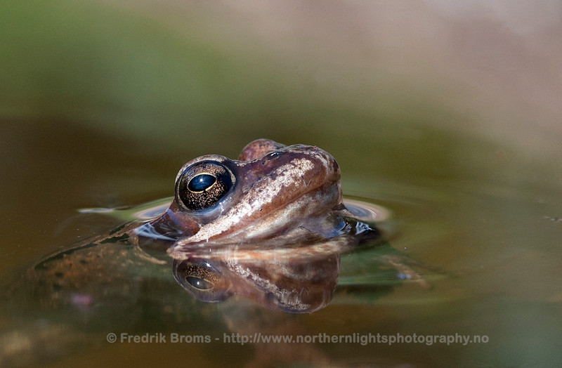 Common Frog, Norway