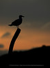 Herring Gull at Sunset, Norway