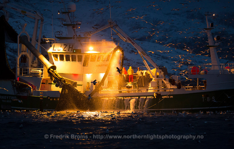 Catching herring, Kaldfjorden, Norway