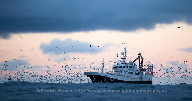Norwegian Fishing for Herring, Northern Norway