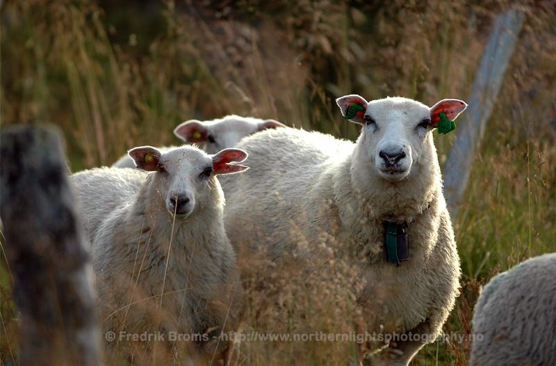 Sheep, Norway