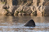 Dorsal Fin of a Basking Shark, Norway