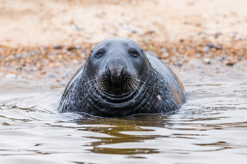 Face on with a Grey Seal
