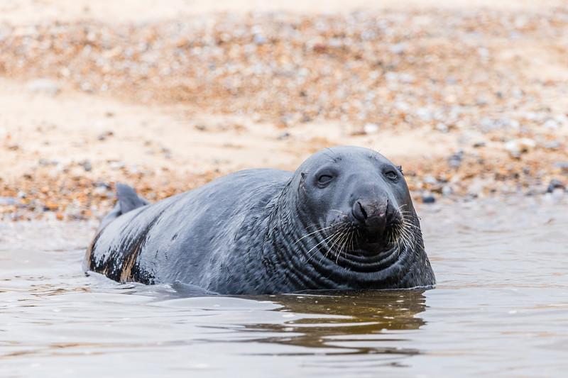 Grey Seal laying off Blakeney beach