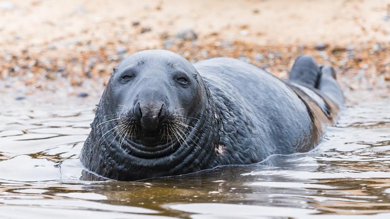 Grey Seal at Blakeney