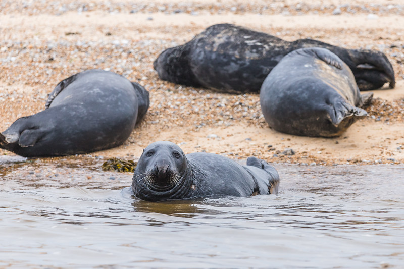 Grey Seal with its family