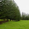 Row of Trees, Norfolk Island