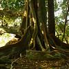 Morten Bay Fig Tree, Norfolk Island