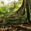 Moreton Bay Tree