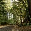Moreton Bay Fig trees, Norfolk Island