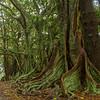 Moreton Bay figs, Norfolk Island