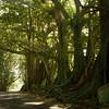 Morten Bay Figs, Norfolk Island