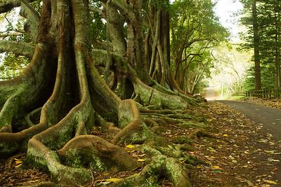 Moreton Bay Fig Tree Road