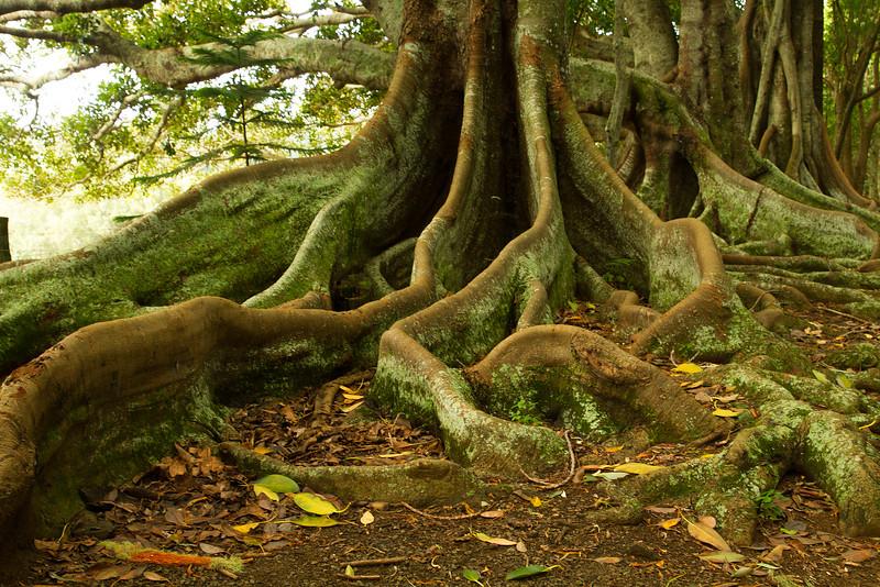 Morten Bay Fig trees, Norfolk Island
