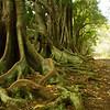 Morten Bay Fig trees on Norfolk Island