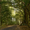 Morten Bay Fig Trees, Norfolk Island