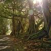 Moreton Fig trees, Norfolk Island