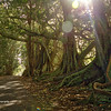 Moreton Fig trees, Norfolk Island