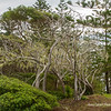 Moss covered trees on Norfolk Island