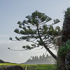 Tree doing its thing, Norfolk Island