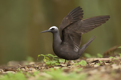 White Capped Noddy (Anous minutus) adult