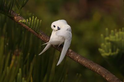 White Tern (Gygis alba) adult