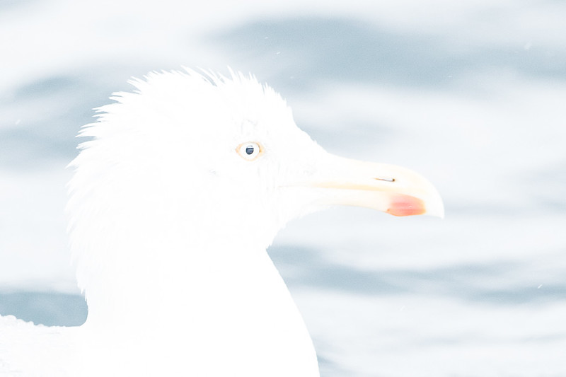 Sølvmåge