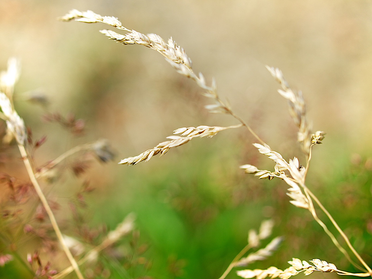 The soft touch of a golden straw, summer in Norway (Foto: Geir)