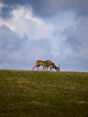 Hjort ved store Stokkavann
