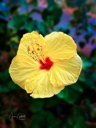 Hibiscus in Colombia