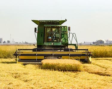 Normal rice harvesting