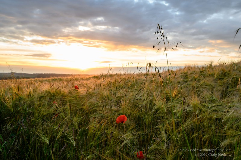 Barley fields, the Somme, France