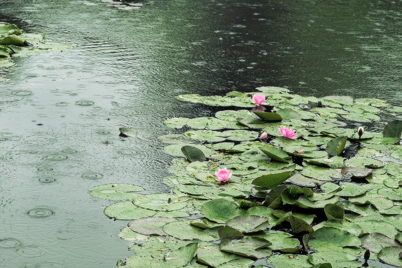 Lillypads and Rain at Giverny
