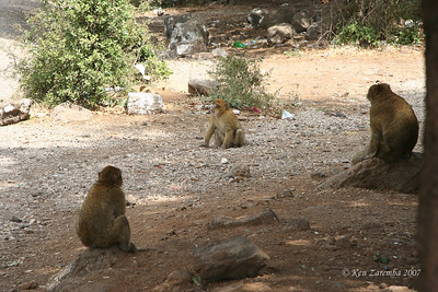 Barbary Apes - near the entrance to the cedar forest.  They show up in the AM when the tourists are there. They actually are Barbary Macaque monkeys, not apes.