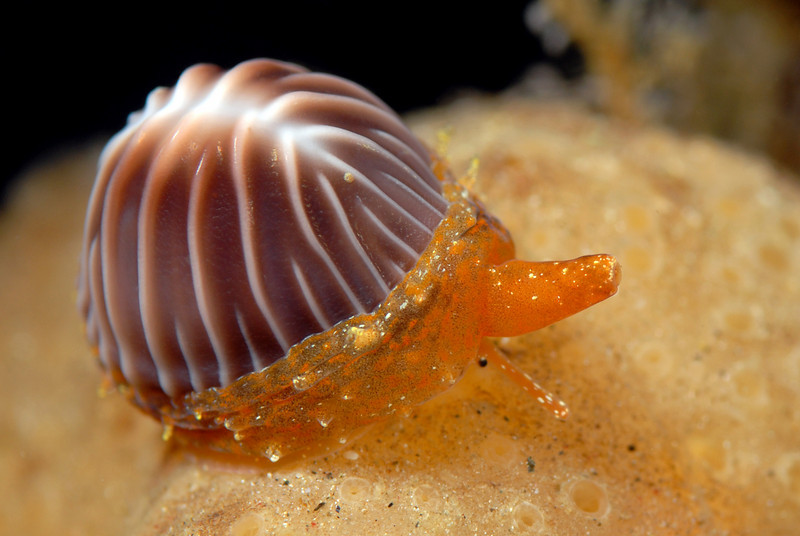 Snail: Trivia californicus, Coffee Bean Cowry - Kevin Lee's Photos ...